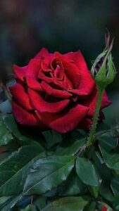 beautiful red roses wallpapers free download