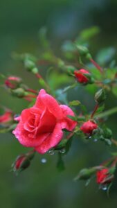 beautiful rose flower wallpaper free download