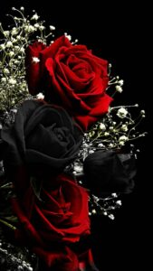 black and red roses images