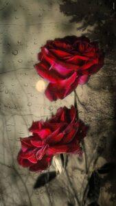 loveley red rose wallpaper