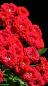 most beautiful red roses wallpaper for free download in hd