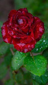 red rose flower images download