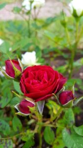red rose flower images free download