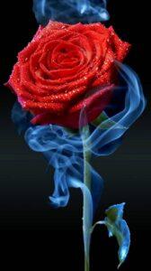 red rose flower wallpaper free download