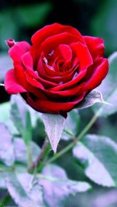red rose hd images free download