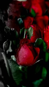 red roses hd images free download
