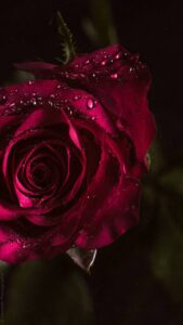 rose flower images free download hd